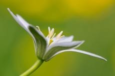 Ornithogalum flower