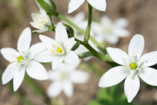Close up of star-of-Bethlehem flowers with blurred background